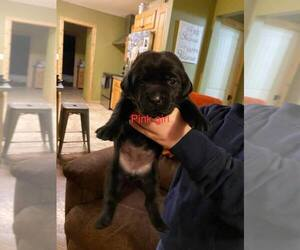 Labrador Retriever Puppy for sale in CARTHAGE, MO, USA