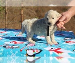 Small #22 Goldendoodle