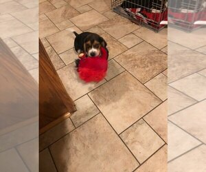 Beagle Puppy for sale in WAYNESFIELD, OH, USA