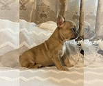 Small Photo #5 French Bulldog Puppy For Sale in JACKSONVILLE, FL, USA