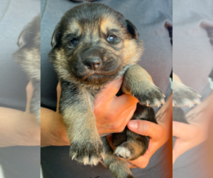 German Shepherd Dog Puppy for sale in MENDON, UT, USA