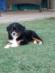 Australian Shepherd Puppy For Sale in GREENVILLE, TX, USA