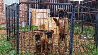 Boxer Puppy For Sale in ABILENE, TX