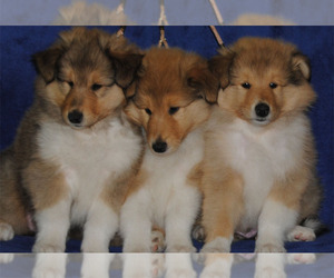 Collie Puppy for sale in COLDWATER, MI, USA