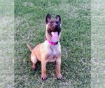 Small #4 Belgian Malinois