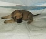 Small #45 Mastiff