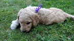 Goldendoodle Puppy For Sale in MCKENNA, WA, USA