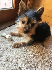 Yorkshire Terrier Puppy For Sale in RACINE, WI, USA