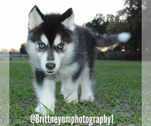 Siberian Husky Dog for Adoption in MULBERRY, Florida USA