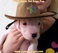 Puppy 7 Dogo Argentino