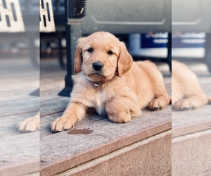 Golden Retriever Puppy for sale in VALDOSTA, GA, USA