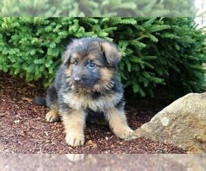 German Shepherd Dog Puppy For Sale near 98632, Longview, WA, USA