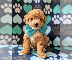 Poochon Puppy for sale in CHRISTIANA, PA, USA