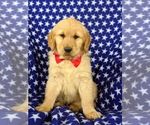 Small Photo #1 Golden Retriever Puppy For Sale in OXFORD, PA, USA
