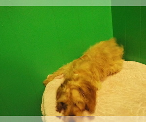 Cavapoo Dog for Adoption in PATERSON, New Jersey USA