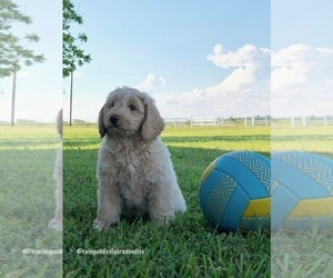 Australian Labradoodle Puppy for Sale in WACO, Texas USA