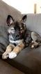 German Shepherd Dog-Siberian Husky Mix Puppy For Sale in BETHESDA, MD, USA