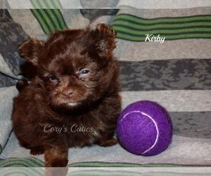 Pomeranian-Poodle (Toy) Mix Dog for Adoption in ELKLAND, Missouri USA
