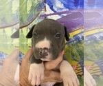 Puppy 11 American Pit Bull Terrier