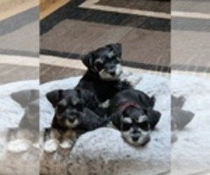 Schnauzer (Miniature) Puppy for sale in MEDINA, OH, USA