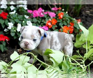 English Bulldog Puppy for sale in KELLER, TX, USA