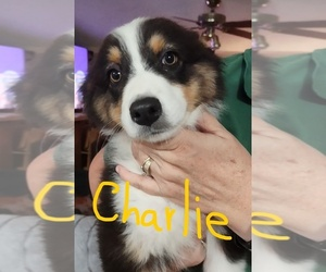 Australian Shepherd Puppy for Sale in TUCSON, Arizona USA