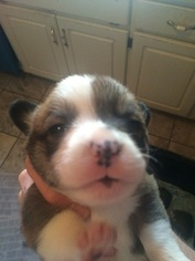 Pembroke Welsh Corgi Puppy For Sale in COLUMBUS, GA