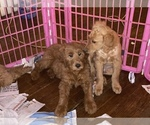 Small #18 Goldendoodle-Poodle (Standard) Mix