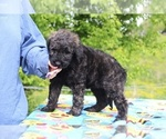 Small #20 Goldendoodle