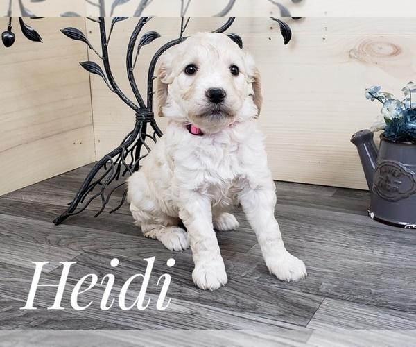 Medium Photo #4 Goldendoodle Puppy For Sale in CEDAR GAP, MO, USA