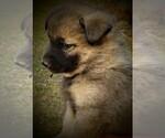 Small #4 Norwegian Elkhound