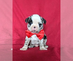 Boston Terrier Puppy for sale in EPHRATA, PA, USA