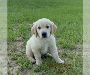 Golden Retriever Dog for Adoption in EUSTACE, Texas USA