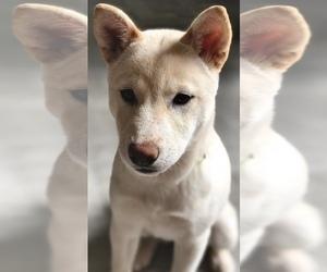 Shiba Inu Dog for Adoption in CLEVELAND, Ohio USA