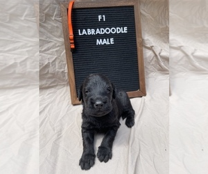 Labradoodle Puppy for sale in BENTON, IL, USA