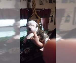 American Bulldog Puppy for sale in CLARINDA, IA, USA