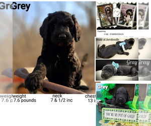 Saint Berdoodle Puppy for sale in MILLVILLE, MN, USA