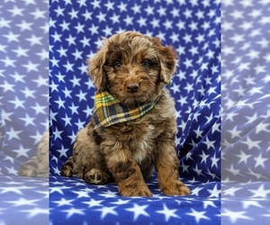 Aussiedoodle Miniature  Puppy for sale in CHRISTIANA, PA, USA