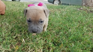 American Pit Bull Terrier Puppy For Sale in FRESNO, CA