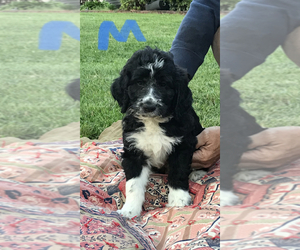 Aussiedoodle Puppy for sale in THURMOND, NC, USA