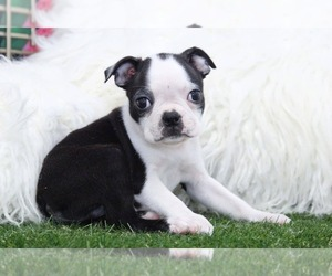 Boston Terrier Puppy for sale in MARIETTA, GA, USA