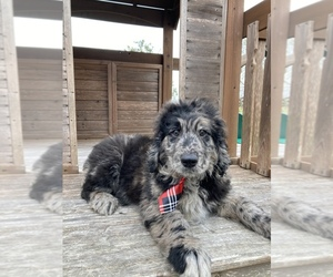 Goldendoodle-Poodle (Standard) Mix Puppy for sale in APOPKA, FL, USA