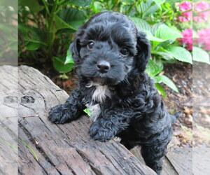 Poodle (Miniature)-Poodle (Toy) Mix Dog for Adoption in EPHRATA, Pennsylvania USA