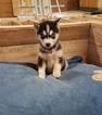 Alaskan Klee Kai Puppy For Sale in ARTHUR, IL, USA