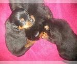 Small #11 Rottweiler