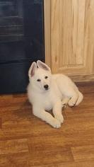 German Shepherd Dog Puppy For Sale in GRANGER, TX, USA