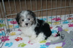 Havanese Puppy For Sale in ORO VALLEY, AZ, USA