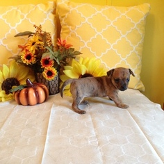 Chihuahua Puppy For Sale in MERIDIAN, NY, USA