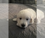 Small Photo #23 English Cream Golden Retriever Puppy For Sale in ARCHBALD, PA, USA