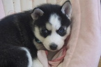 Siberian Husky Puppy For Sale in CASSVILLE, Wisconsin,